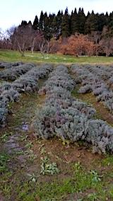 20171208ラベンダーの畑おかむらさき