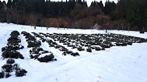20171214ラベンダー畑の様子1