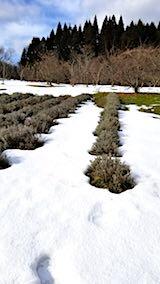 20180119ラベンダーの畑2