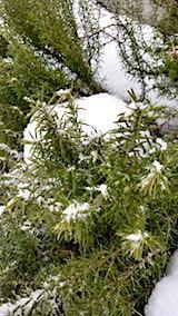20180211雪と寒さに耐えるローズマリー