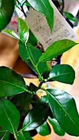 20180216レモンの新芽と葉っぱ
