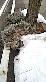 20180313外の様子朝歩道のラベンダー