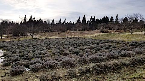 20180315ラベンダー畑の様子雪が消える3