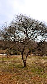 20180315花梅の木
