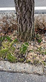 20180319イチョウの木の根元