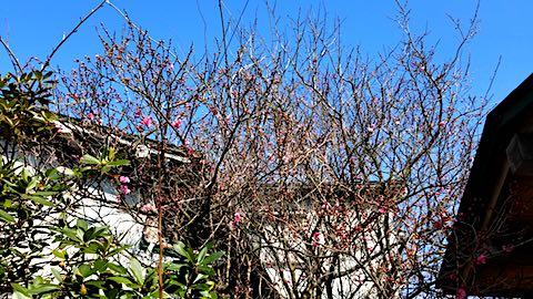 20180327花梅の花が開花3