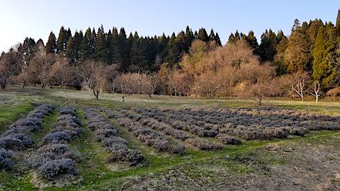 20180327ラベンダー畑の様子