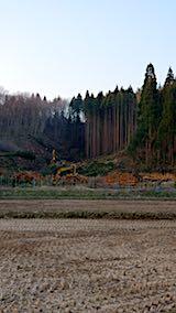 20180327山からの帰り道の様子杉の伐採1