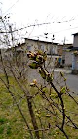 20180408近くの公園の様子花芽