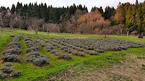 20180408ラベンダー畑の様子