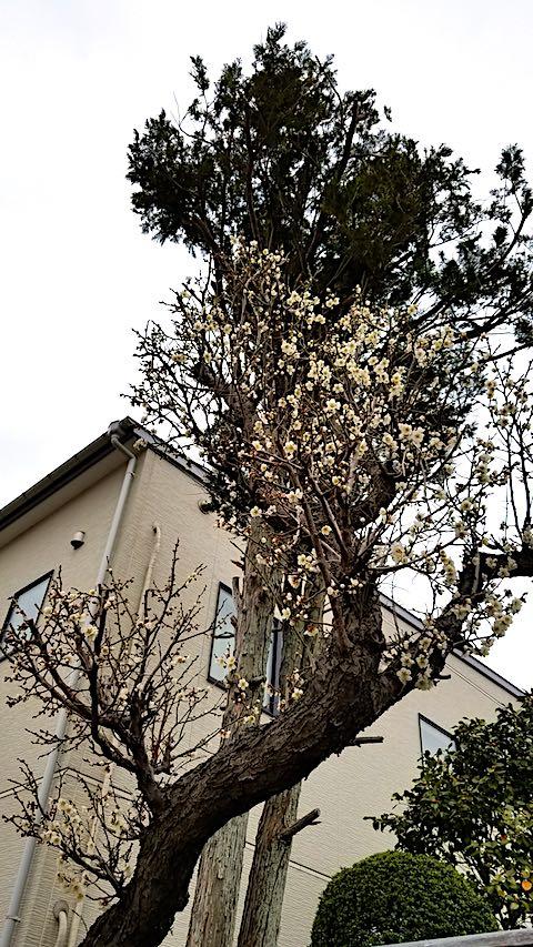 20180414外の様子昼前梅の花