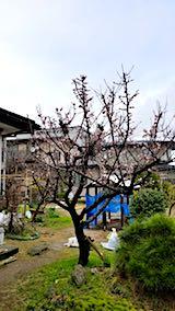 20180415親戚の家の梅の木