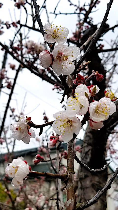 20180415雨に濡れた梅の花