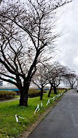 20180415太平川沿いの桜