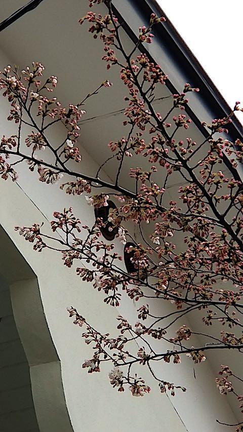 20180415近くの桜の花が開花