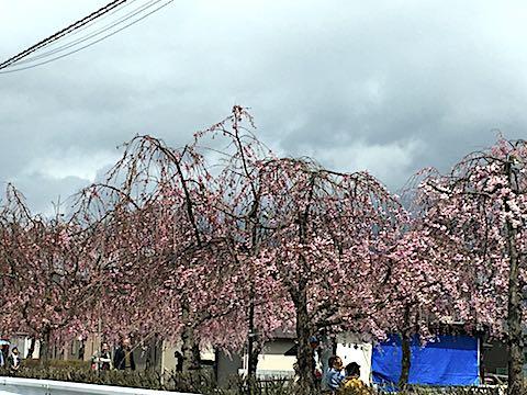 20180416喜多方市日中線のしだれ桜2