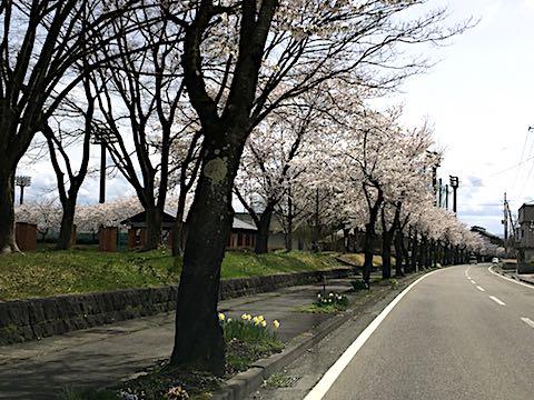 20180416喜多方市押切川公園沿いの桜