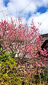 20180416外の様子昼過ぎ花桃の花が満開