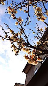 20180416夕日に輝く梅の花2