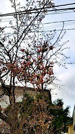20180416ほんの少し開花の進んだ桜の花2