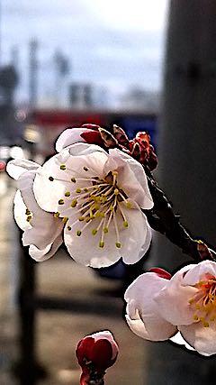 20180416夕日に輝く梅の花3