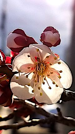 20180416夕日に輝く梅の花4