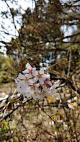 20180417山の様子山桜