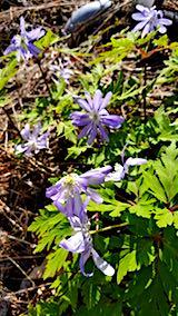 20180417山の様子紫色の花