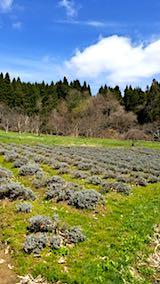 20180417ラベンダーの畑