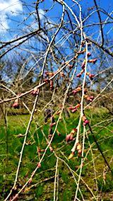 20180417山の様子八重紅枝垂れ桜の花芽
