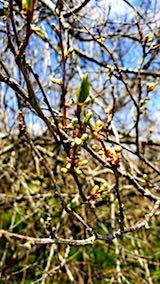 20180417山の様子スモモの花芽