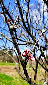 20180417山の様子梅の花芽