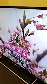 20180417NHKテレビ秋田で桜開花3