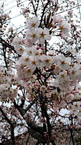 20180418桜の開花進む1