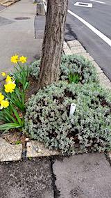 20180419外の様子朝歩道のラベンダーとスイセンの花