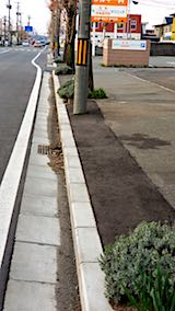 20180419新芽が濃くなって来た歩道のラベンダー2