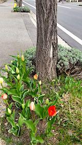 20180420外の様子朝歩道のチューリップが咲き始める