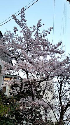 20180420桜の花1