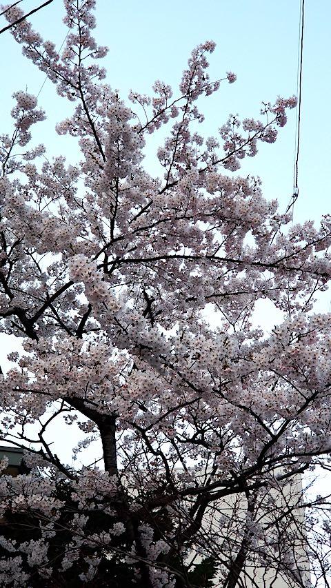 20180420桜の花2