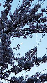 20180420桜の花5