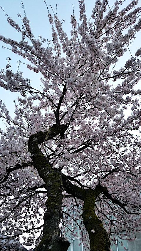 20180420桜の花3
