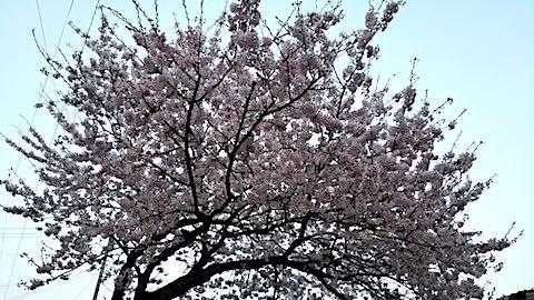 20180420桜の花4
