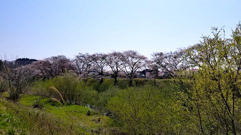 20180421太平川沿いの桜広面大橋
