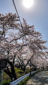 20180421太平川沿いの桜桜大橋1