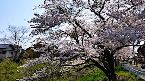 20180421太平川沿いの桜桜大橋4