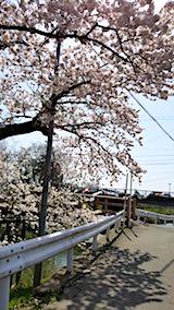 20180421太平川沿いの桜桜大橋3