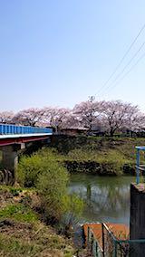 20180421太平川沿いの桜二ツ屋橋1