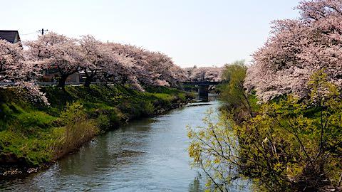 20180421太平川沿いの桜百石橋1