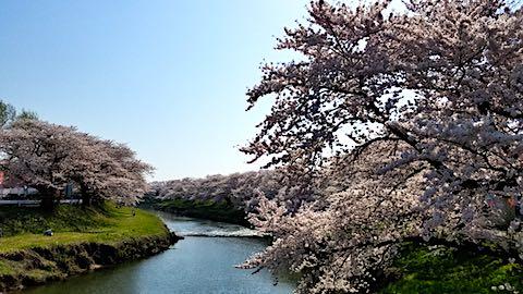 20180421太平川沿いの桜愛宕下橋4