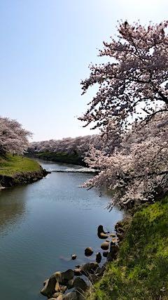 20180421太平川沿いの桜愛宕下橋5
